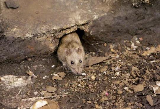 美国接连出现鼠疫病例:20多岁男子感染后死亡