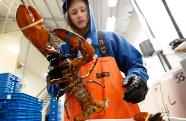美国对加拿大龙虾产业展开贸易调查 加官员称密切关注