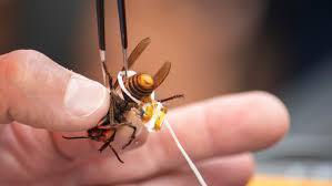 """美国发现首个""""杀手大黄蜂""""巢穴 筑在居民区"""