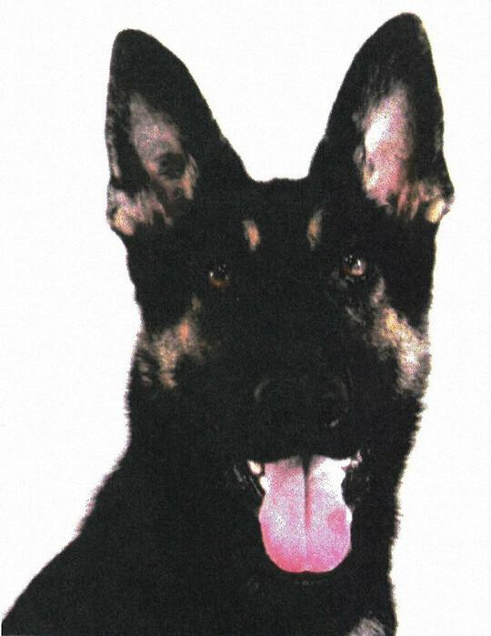 在执行任务时逃跑的警犬(每日新闻)