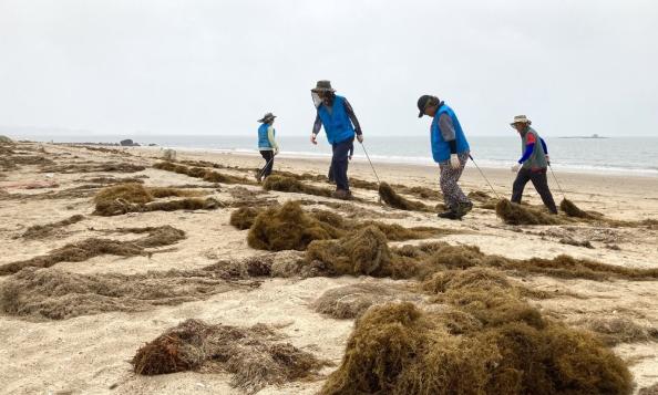 工作人员在韩国忠清南道海水浴场清理铜藻(韩联社)
