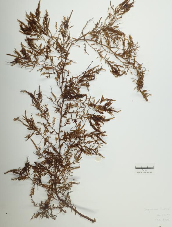 铜藻资料图