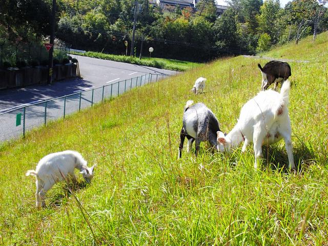 正在工作的羊(朝日新闻)