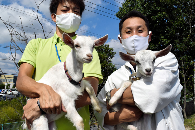 今年出生的羊羔(朝日新闻)