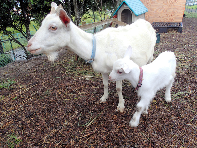 母羊和小羊(朝日新闻)