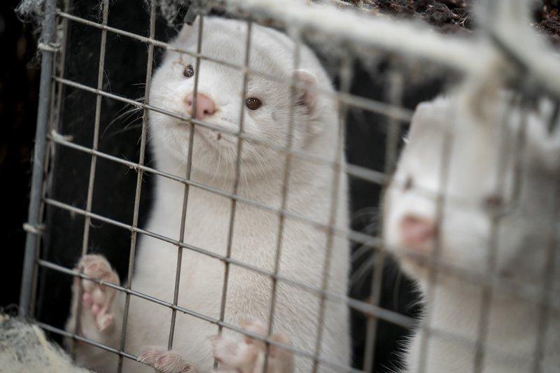 美国又一水貂养殖场暴发疫情 多名工人确诊