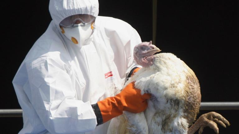 英国农场暴发禽流感 一万多只火鸡被捕杀