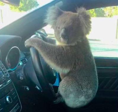 """澳大利亚高速路上5车连撞 """"肇事者""""是只考拉"""