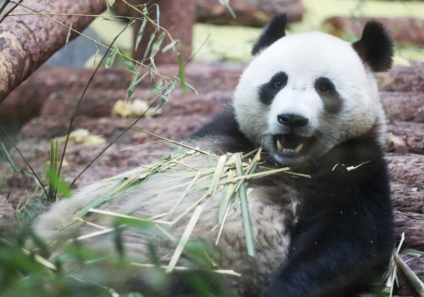 莫斯科动物园里的中国大熊猫