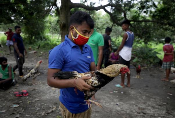 印度公鸡逃离斗鸡比赛时用刀刺死主人 将现身法庭
