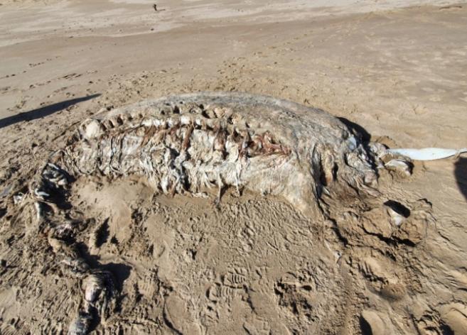 英国海滩现神秘海兽尸体:重4吨,无头无四肢