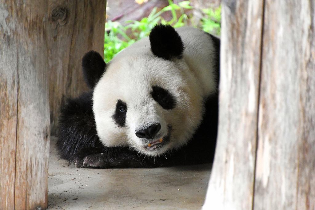 """大熊猫""""旦旦"""""""