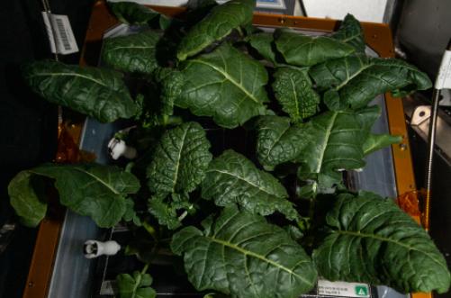 宇航员在国际空间站种植的蔬菜(NASA)