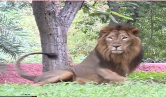 尼赫鲁动物园的狮子(视频截图)
