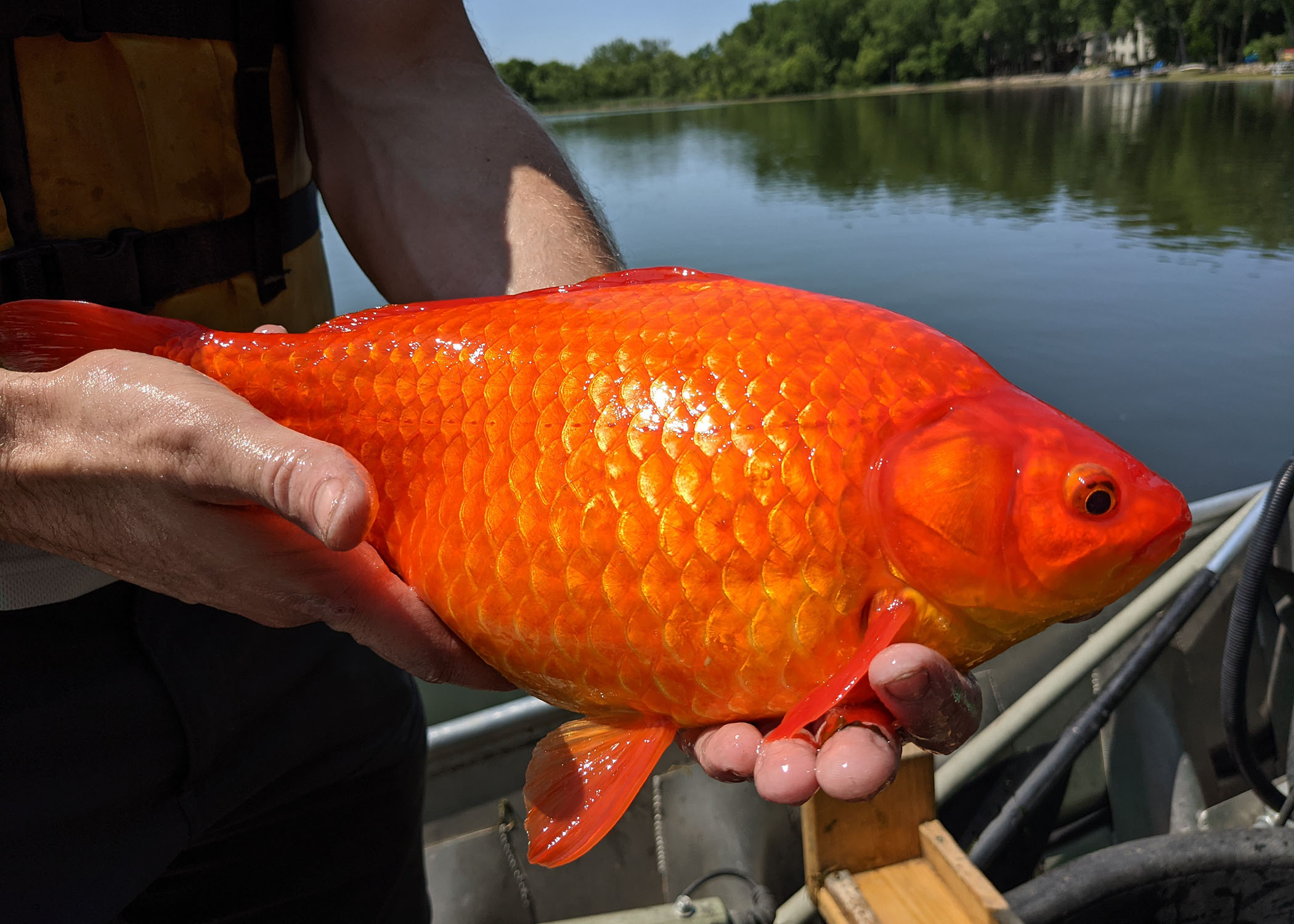 美国湖泊中发现的巨型金鱼