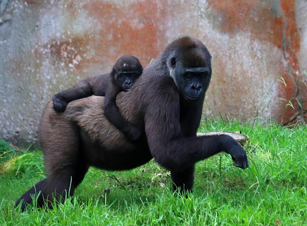 大猩猩(资料图)